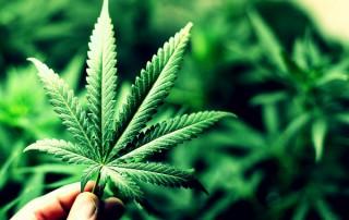 CCJ aprova critério para definição de tráfico de drogas e uso medicinal da maconha